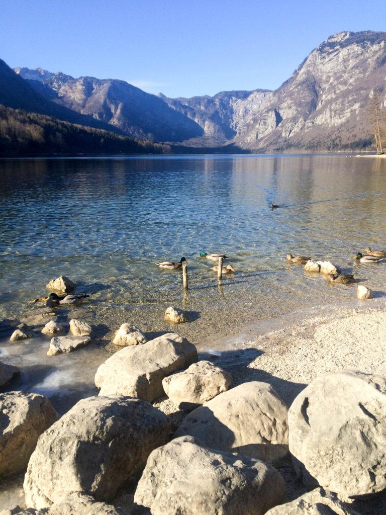 Bohinj Slovenia Triglav national park Bohinj lake Ribicev laz ducks