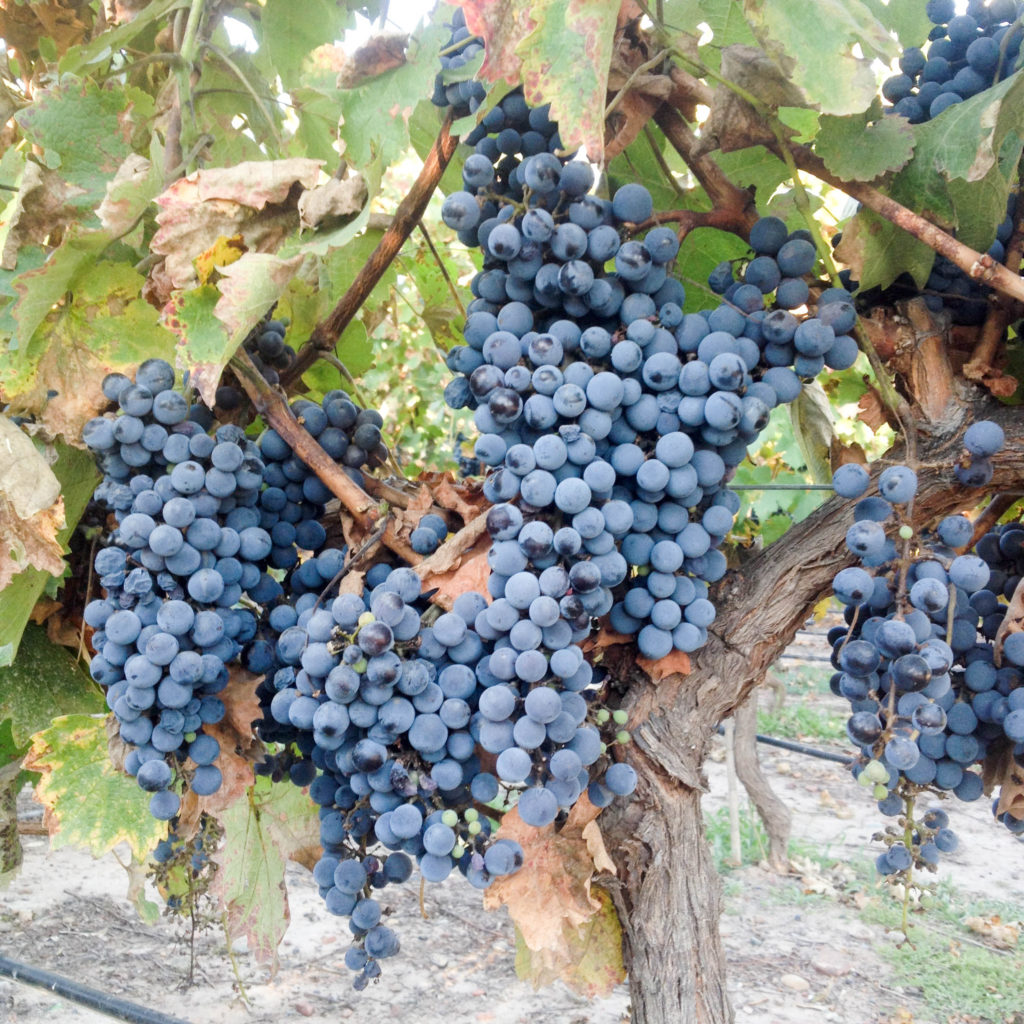 grapes wine tasting Mendoza Argentina