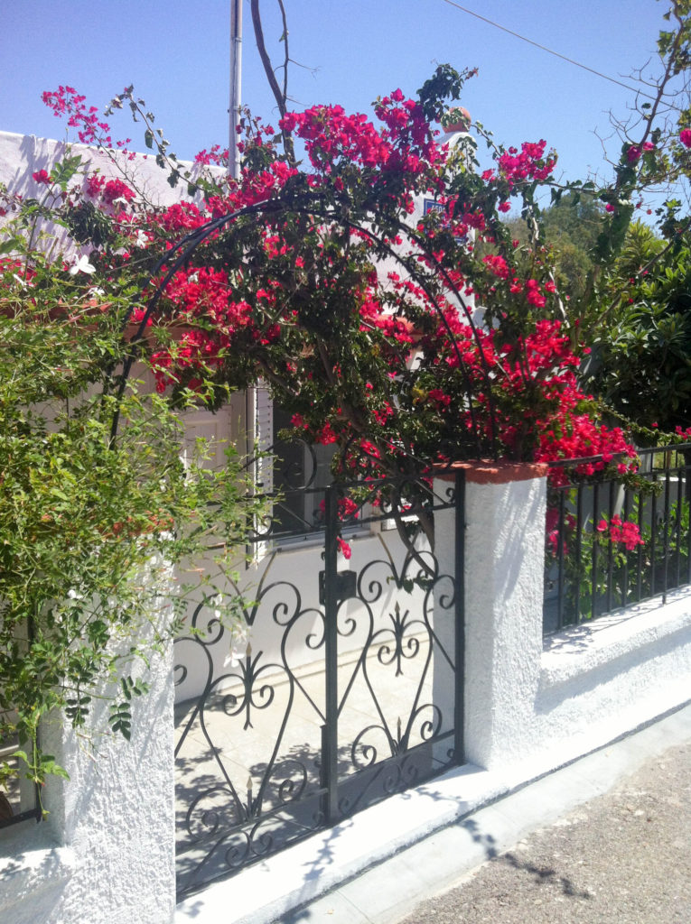 Kos Greece island hibiscus tree