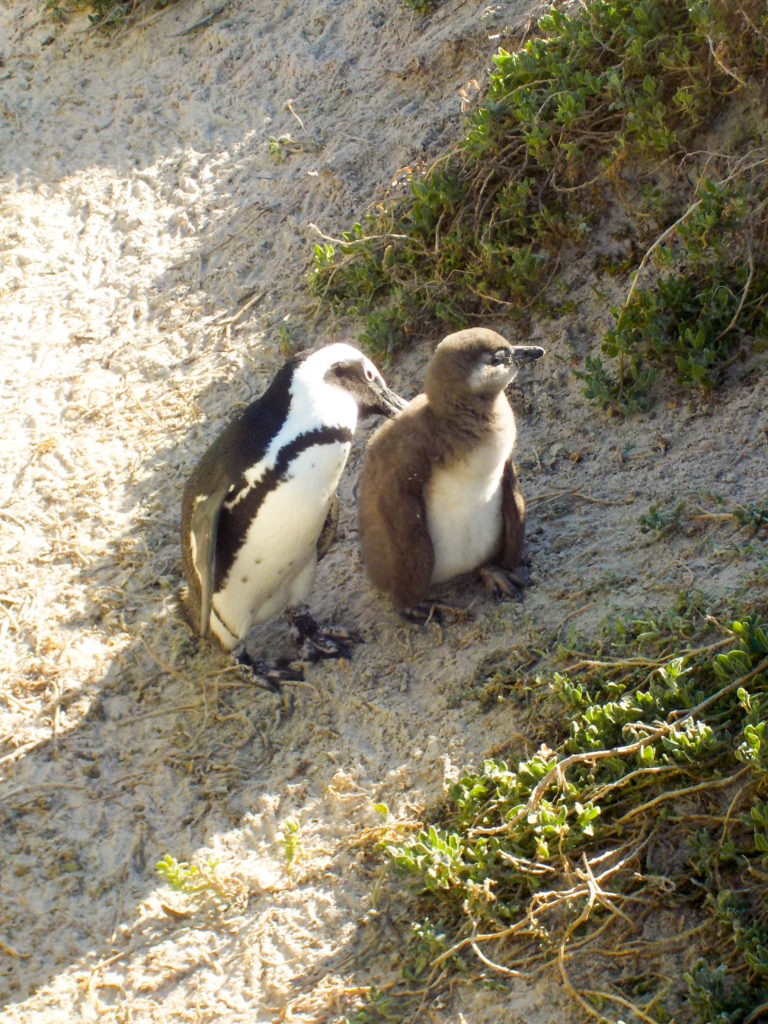 Boulders Beach Simon's Town South Africa jackass penguins colony