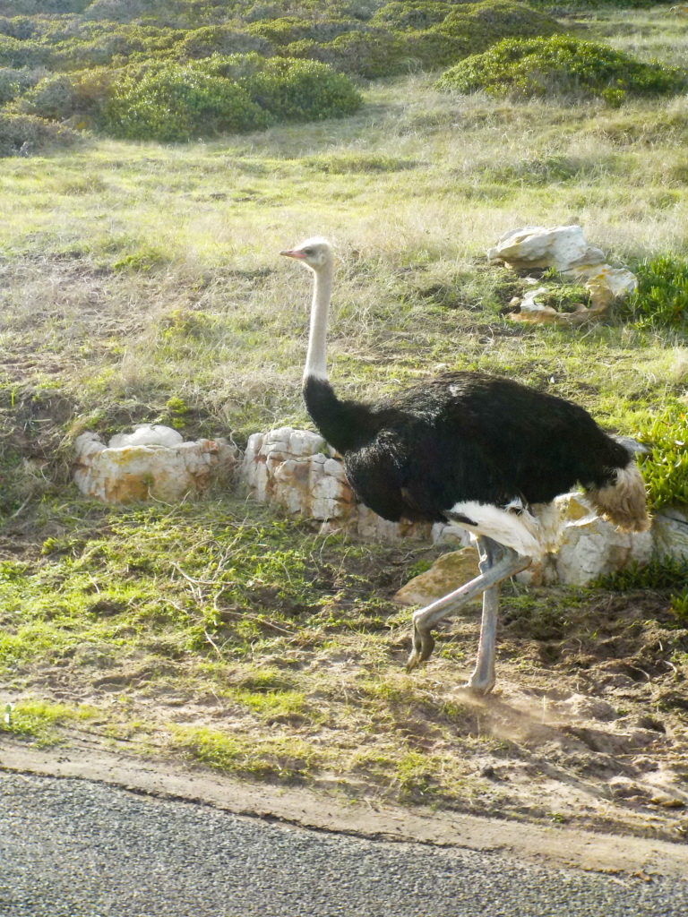 Cape Peninsula Nature Reserve South Africa ostrich