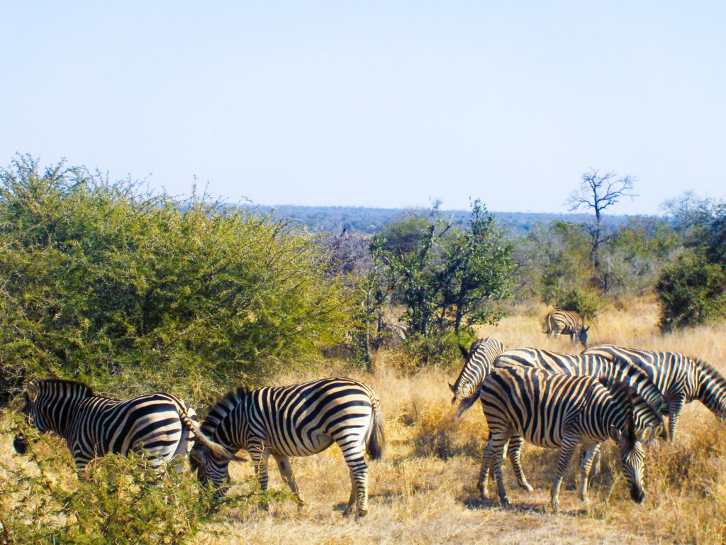 Kruger National Park zebras animals South Africa safari