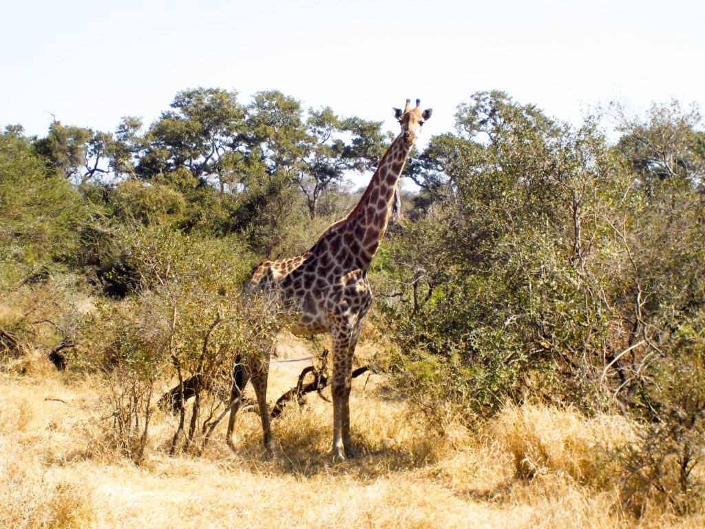 giraffe Kruger National Park safari South Africa
