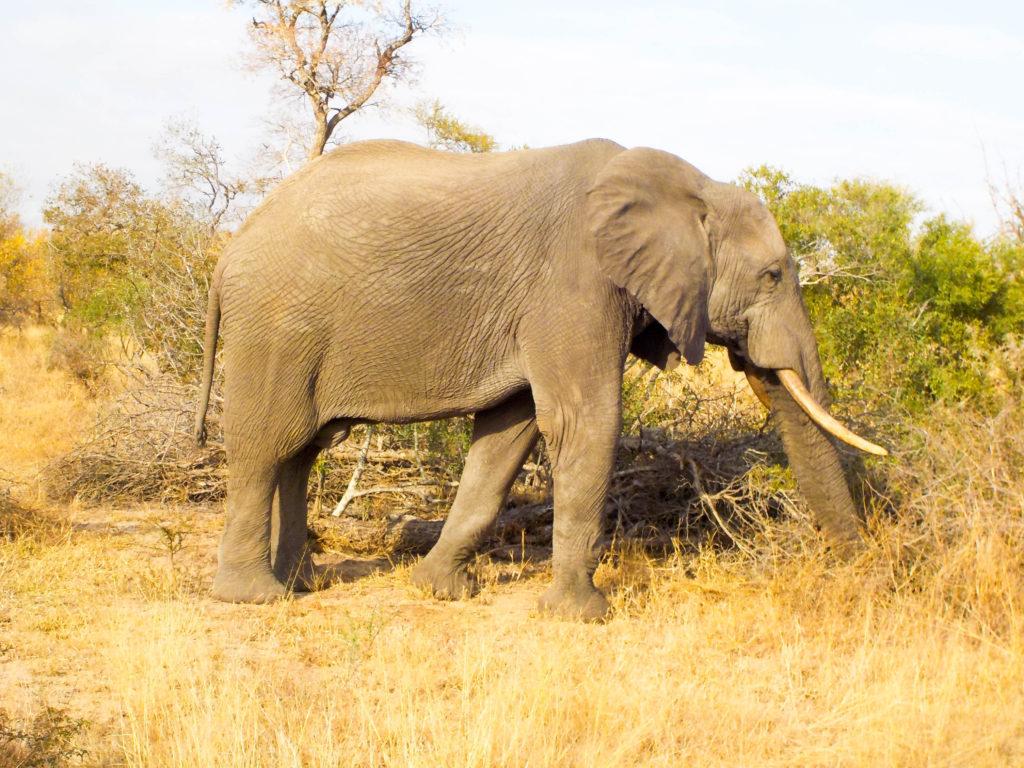 elephant Kruger National Park South Africa safari