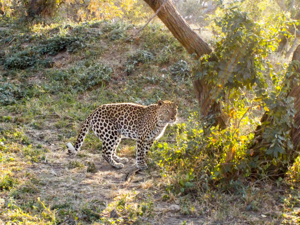 Moholoholo Wildlife Rehabilitation Centre Kruger National Park South Africa leopard