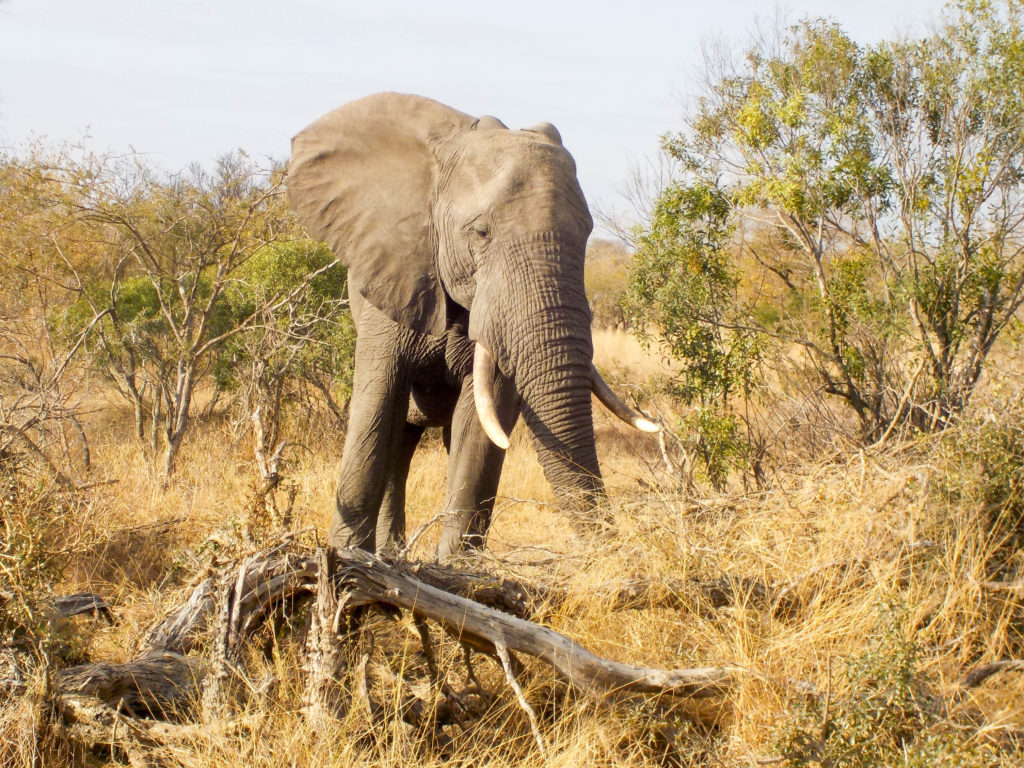Kruger National Park South Africa safari elephant