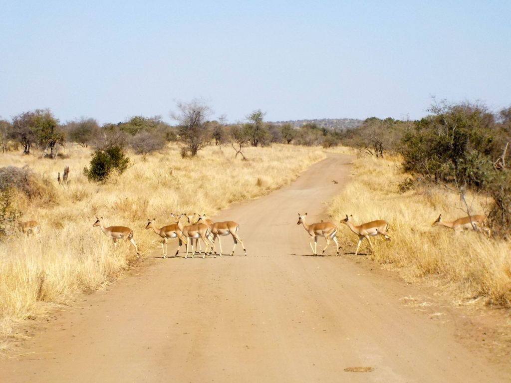 Kruger National Park South Africa safari antelope