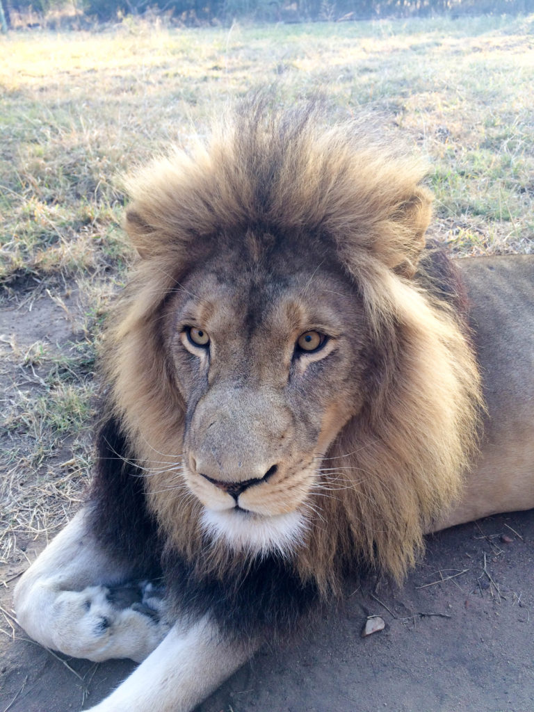 Moholoholo Wildlife Rehabilitation Centre Kruger National Park South Africa lion