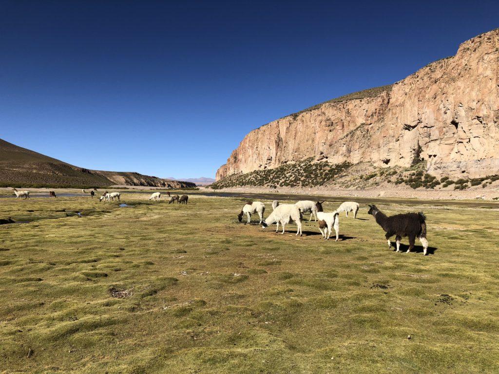 Llamas pasture Reserva Nacional de Fauna Andina Eduardo Avaroa Uyuni Bolivia South America