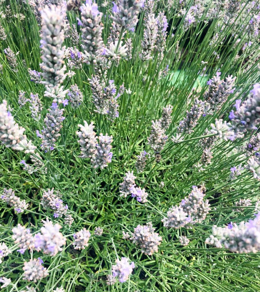 lavender Goriška Brda Slovenia Europe